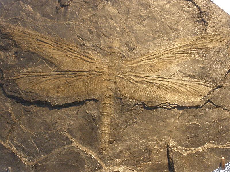 Стрекоза меганевра (окаменелость)