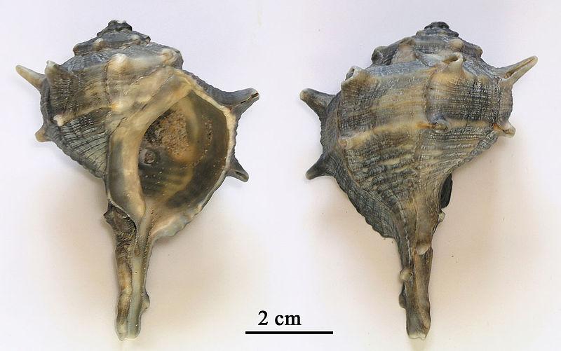 Раковины моллюсков Murex brandaris L.
