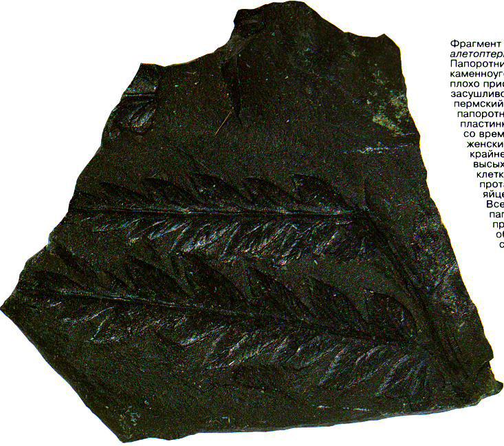 Фрагмент окаменевшего папоротника, найденный в толще угля