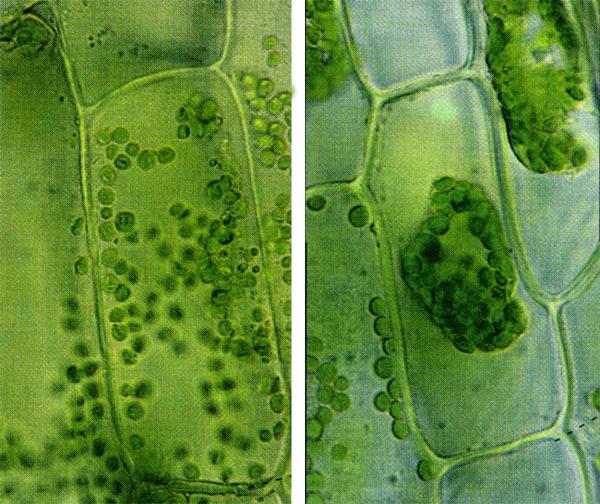 Клетки растения