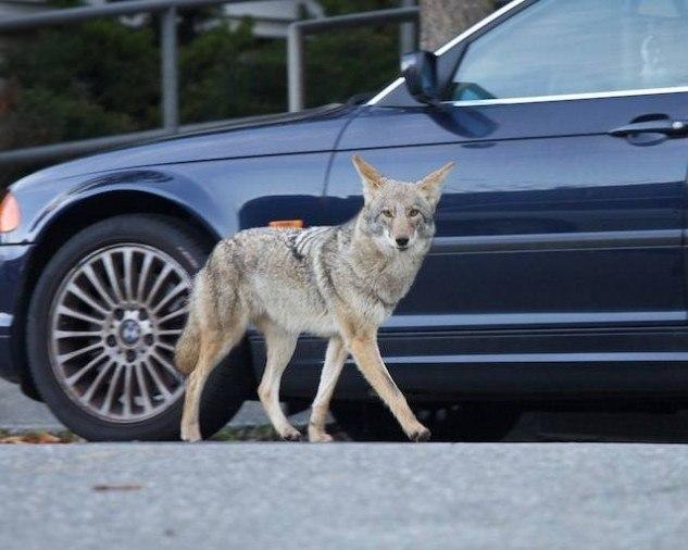 Городские койоты Чикаго-сити