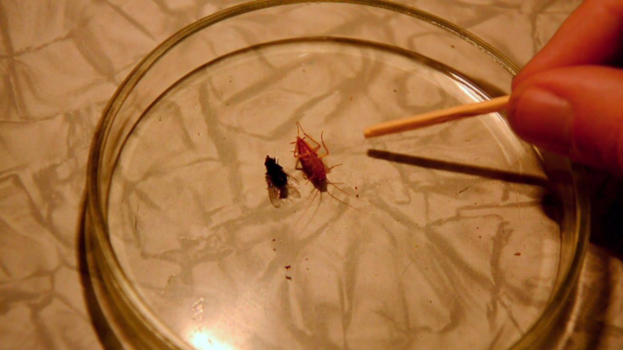 Fly (insect) and German cockroach in atmosphere of methane. Муха и таракан в атмосфере метана