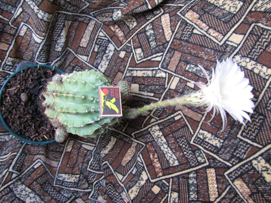 Цветущий кактус. Blooming cactus