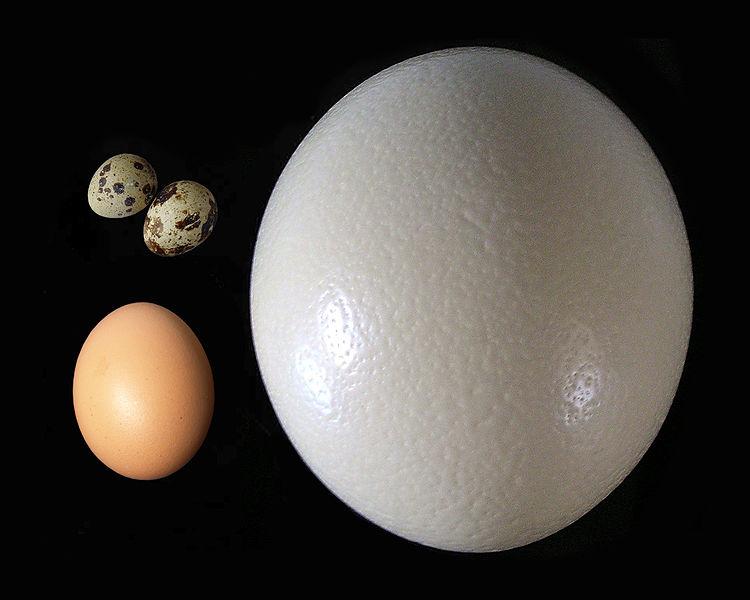 Справа – яйцо страуса, слева – куриное яйцо (снизу), перепелиные яйца (сверху)