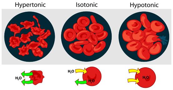 Эритроциты (красные кровяные тельца) в случае высокого (слева), нормального (в центре) и пониженного  (справа) осмотического давления крови