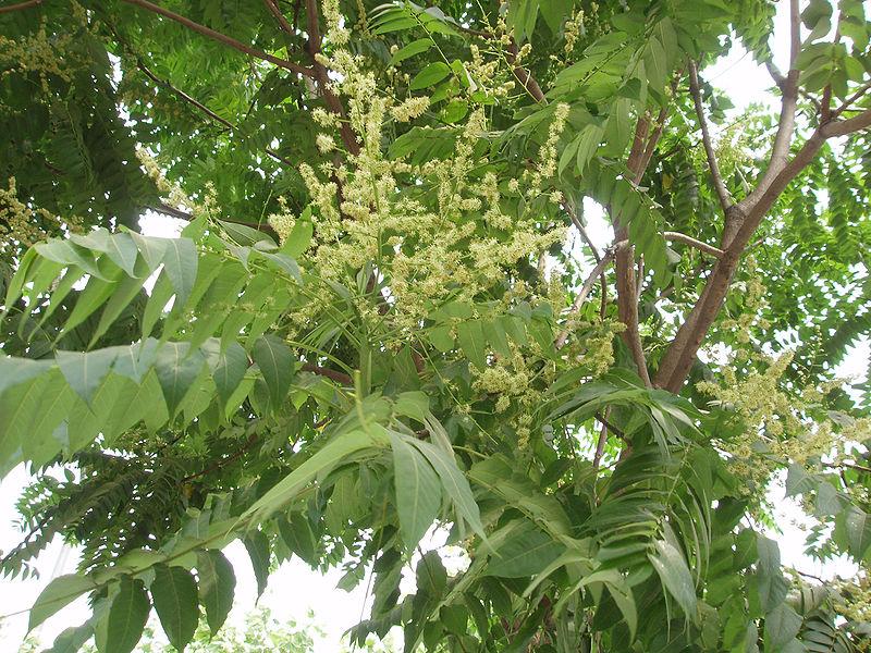 Айлант высочайший. Ailanthus altissima