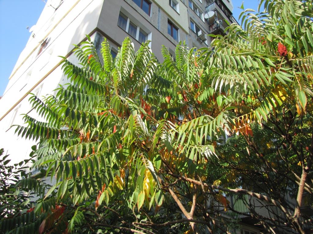 Сумах оленерогий (сумах пушистый, уксусное дерево). Rhus typhina