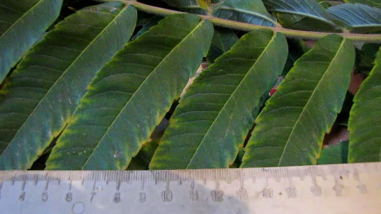 Обнаружение танинов в листьях растения сумах оленерогий. Determination of tannin in leaves of rhus typhina