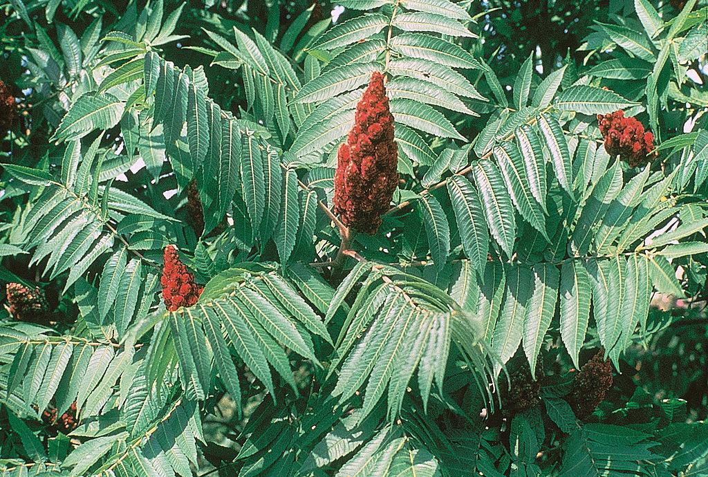 Сумах оленерогий. Листья и соцветия. Rhus typhina