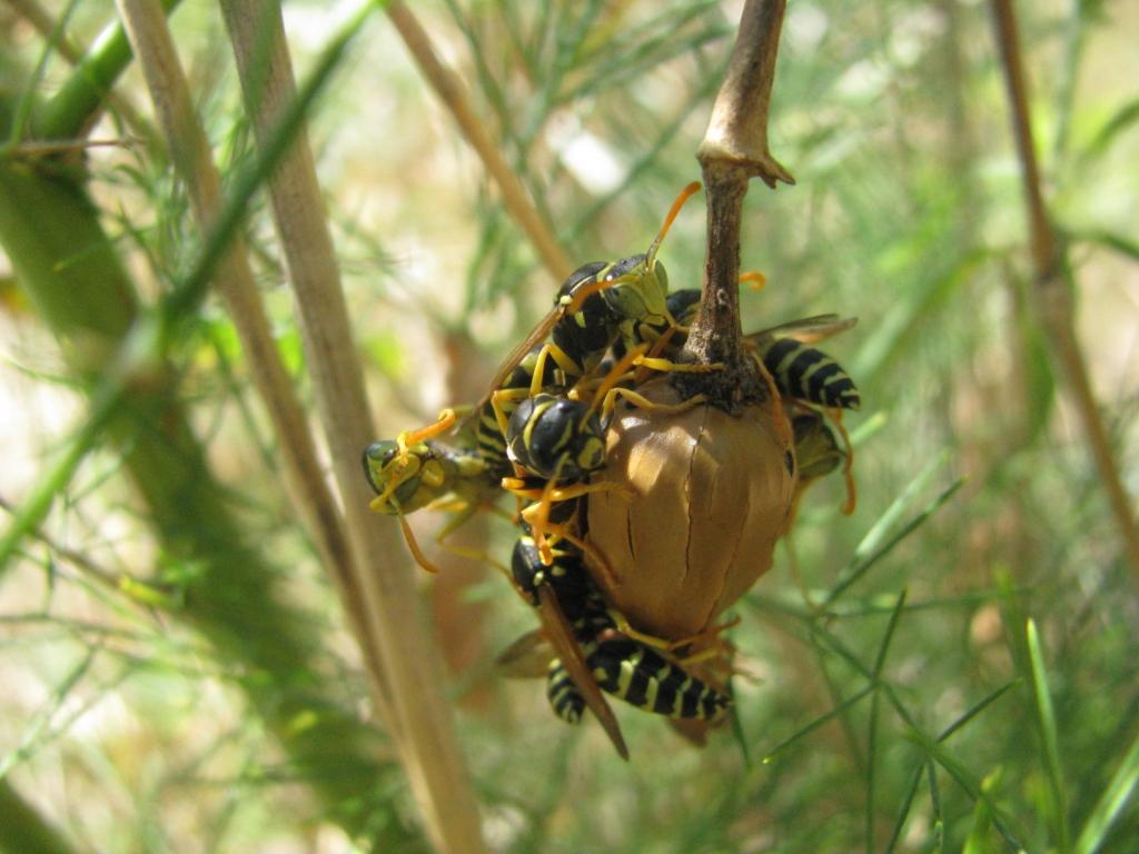 Осиное гнездо на стебле растения. Nest of wasps on stalk of plant