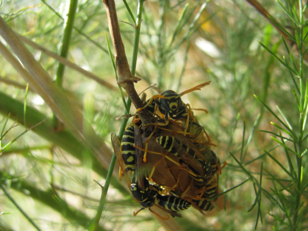 Осиное гнездо на стебле растения. Nest of wasps on stalk of plant