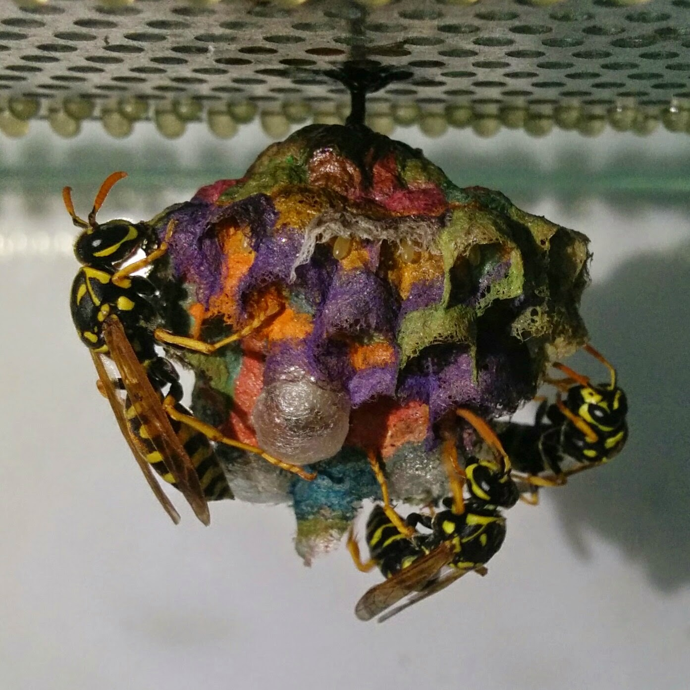 Rainbow colored nests built by wasps. Осы строят гнезда, раскрашенные во все цвета радуги