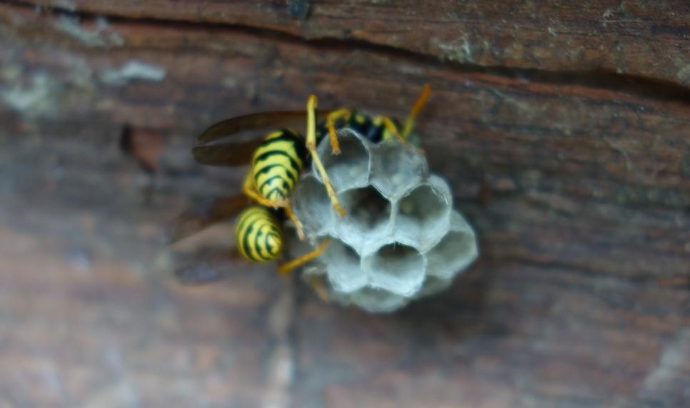 Wasp nest. Осиное гнездо