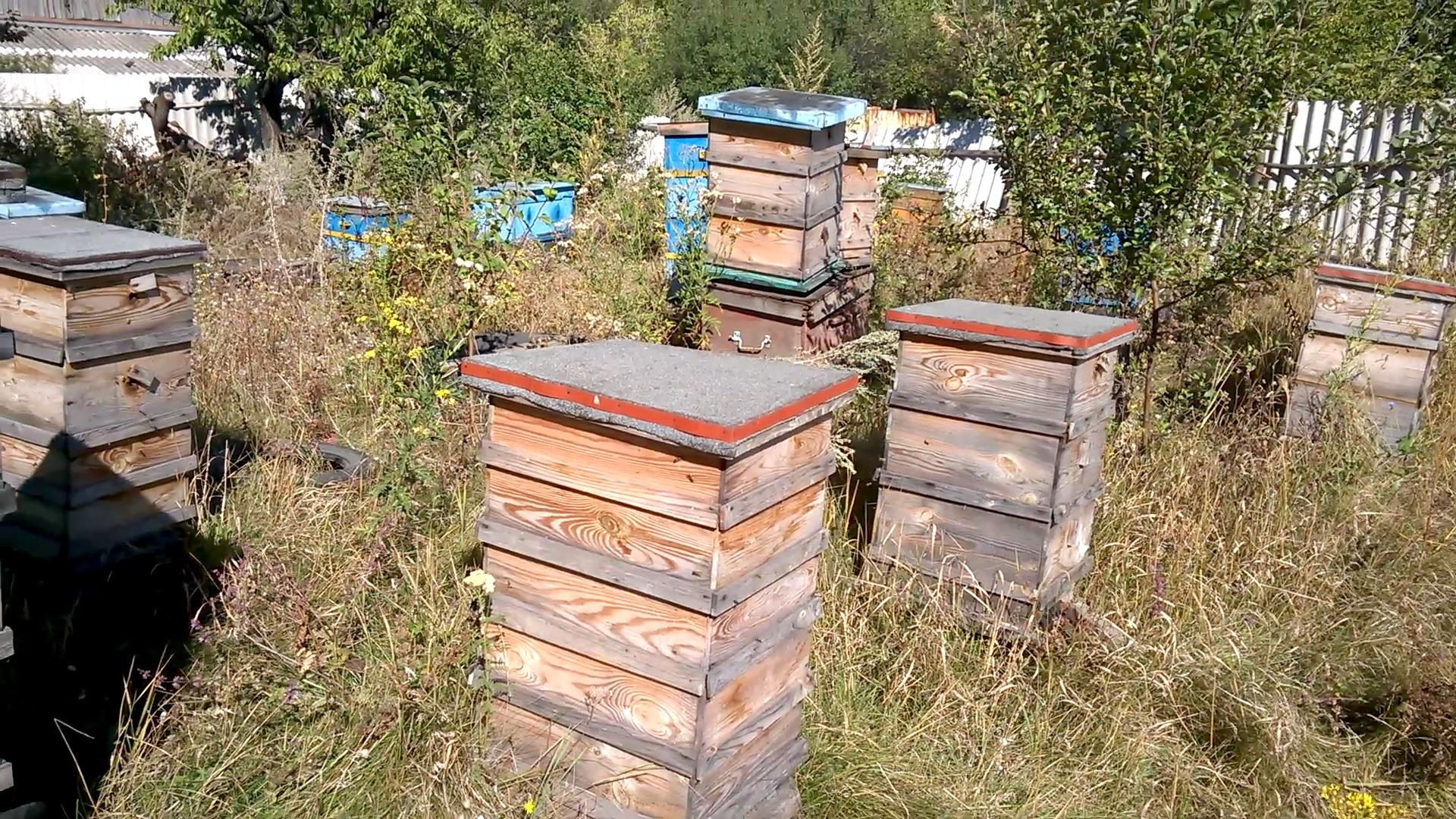 Осы атакуют пчелиный улей. Wasps are attacking beehive