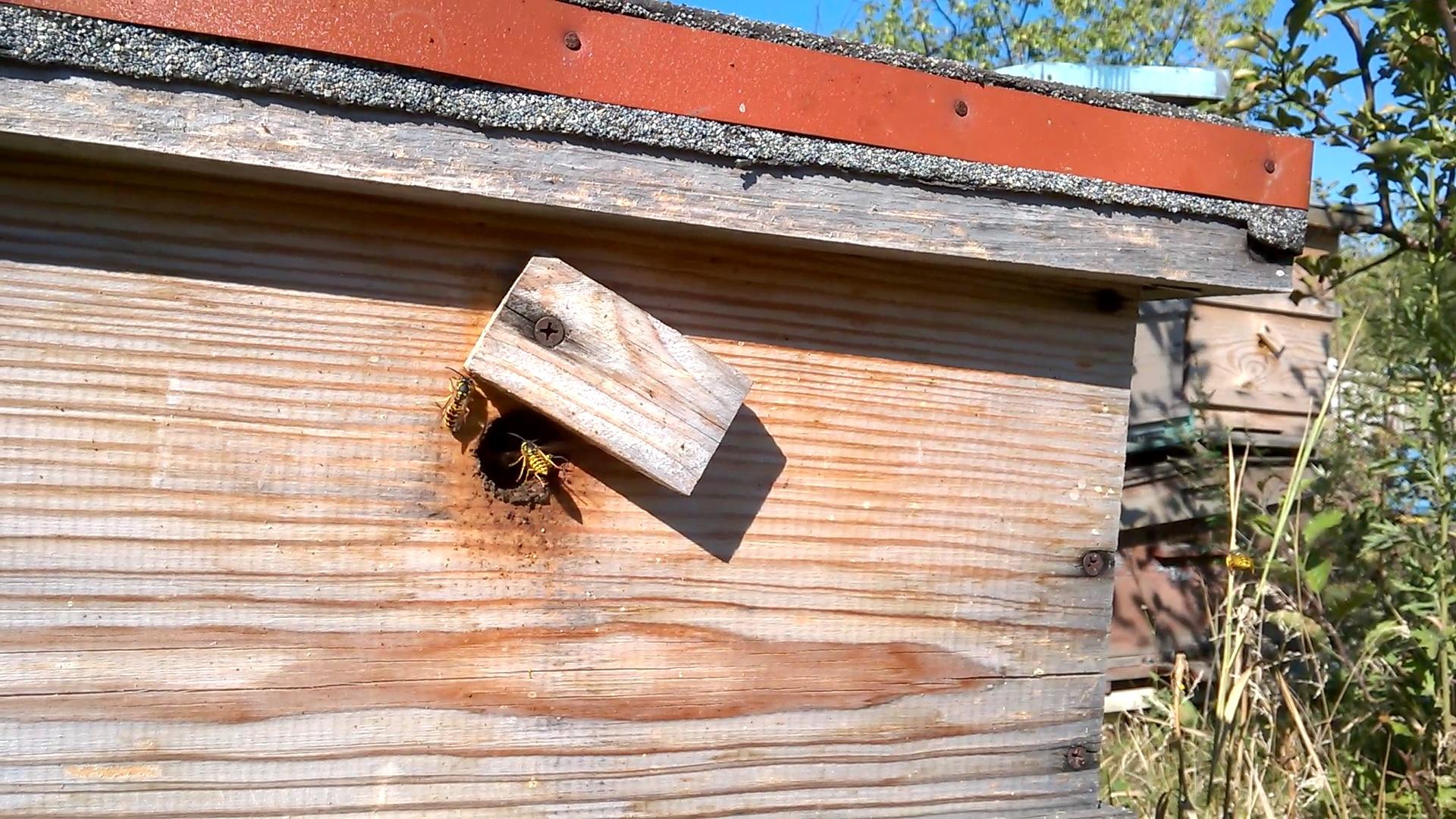 Осы и пчелиная пасека. Wasp and bee apiary
