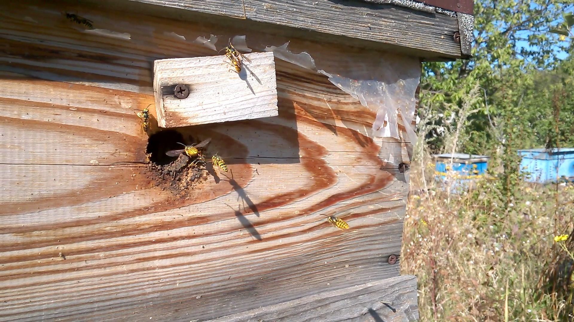 Осы и пчелиная пасека. Wasp and bee apiary