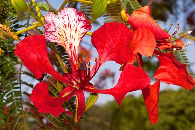 Delonix regia (flowers). Делоникс королевский, или Огненное дерево (цветы)