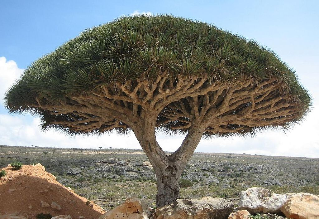 Dragon blood tree. Драцена киноварно-красная