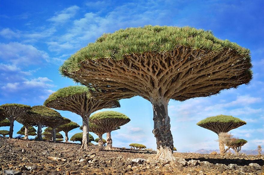 Dragon blood trees, Yemen. Драцена киноварно-красная, Йемен