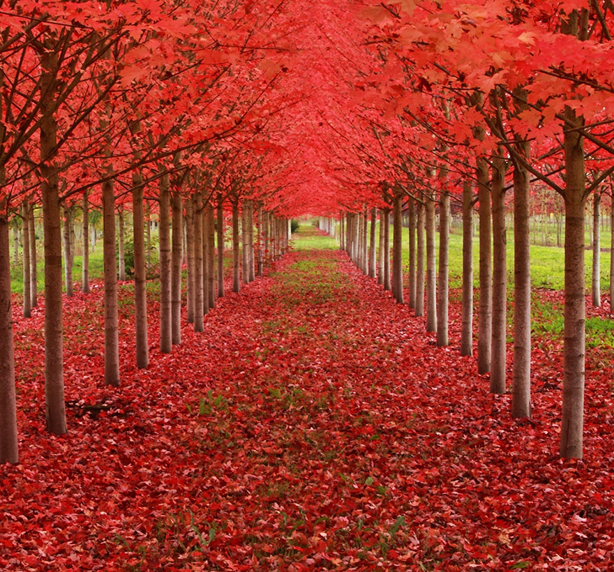 Tunnel formed from maple trees, Oregon, USA. Аллея кленов, штат Орегон, США