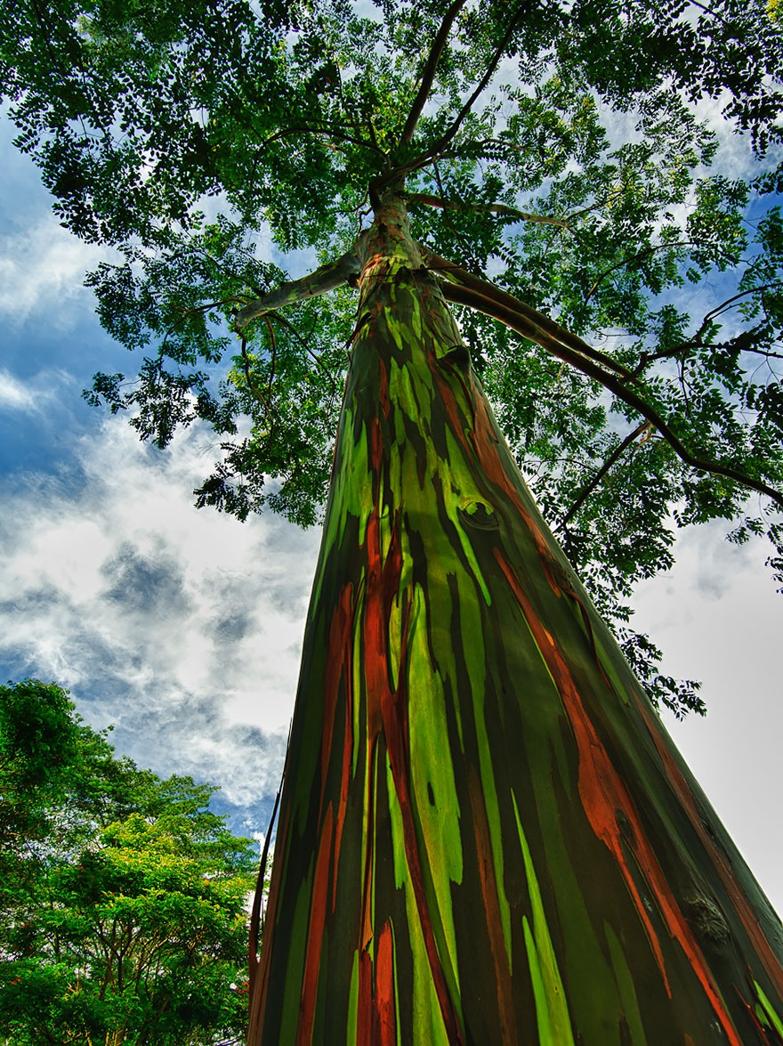 Rainbow eucalyptus, Hawaii. Эвкалипт радужный, Гавайи