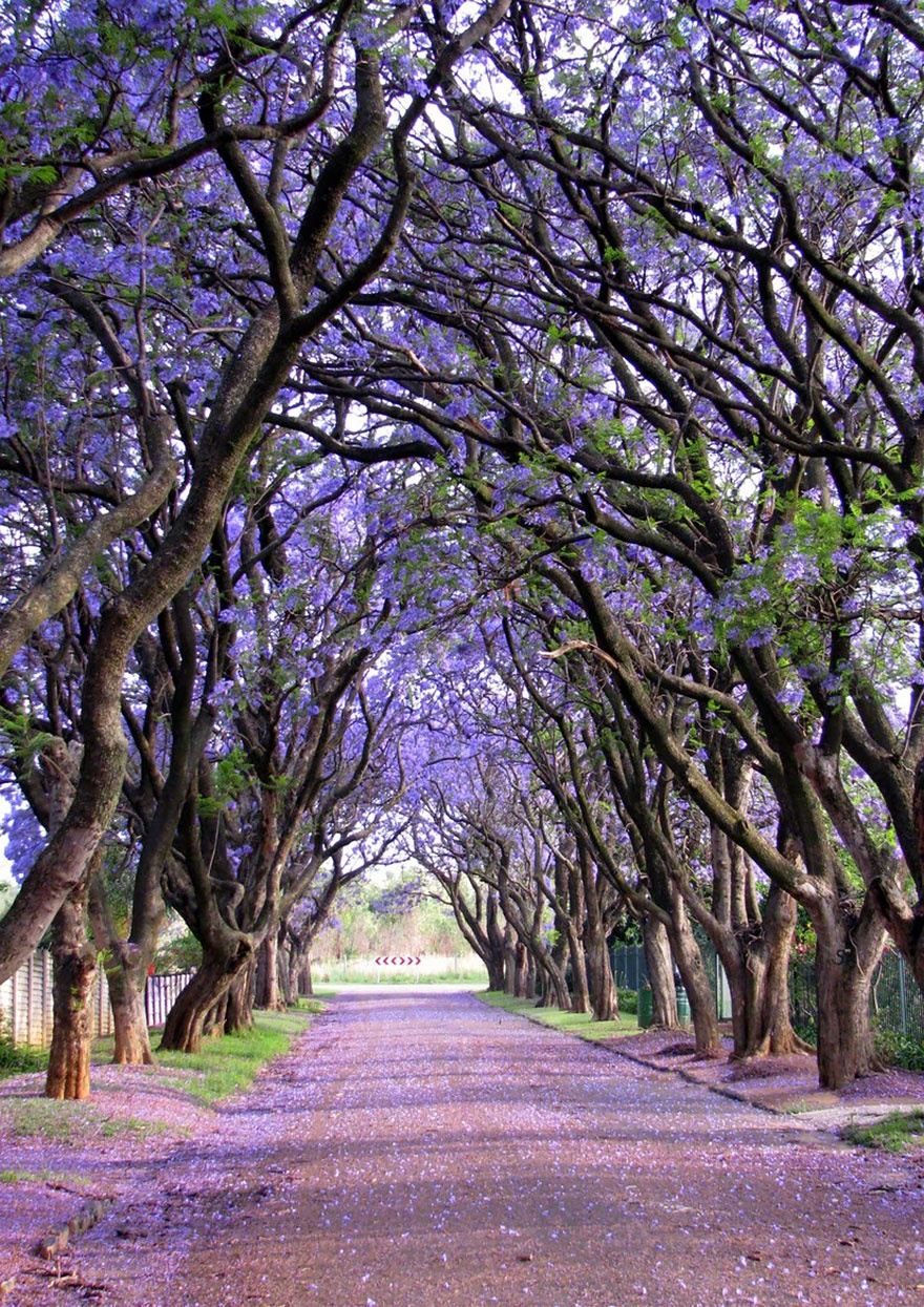 Jacaranda trees, South Africa. Жакаранда, Южная Африка