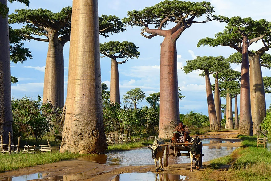Baobab trees, Madagascar. Баобабы, Мадагаскар