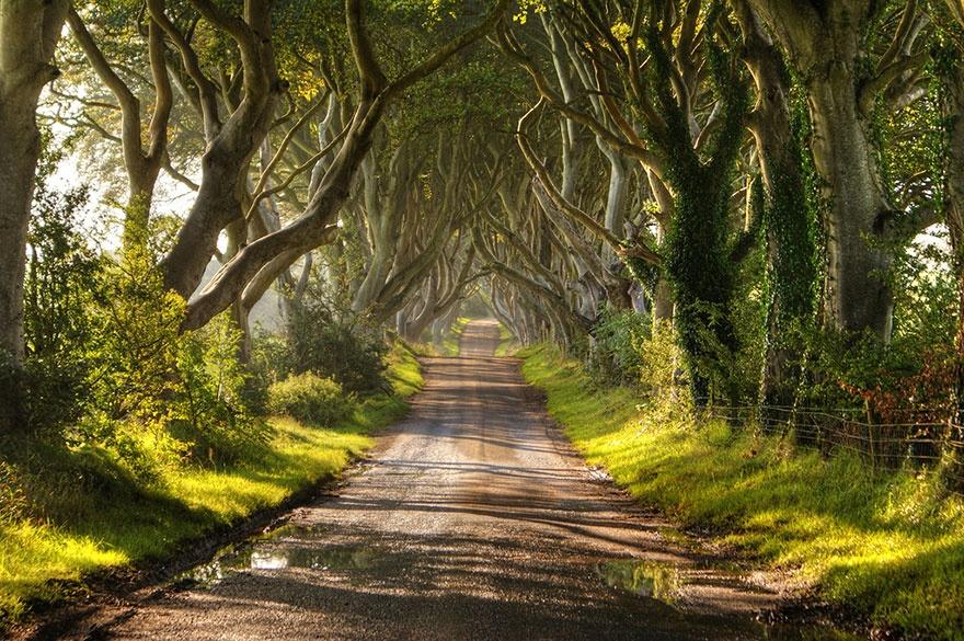 Alley of beech trees, Northern Ireland. Аллея буков, Северная Ирландия