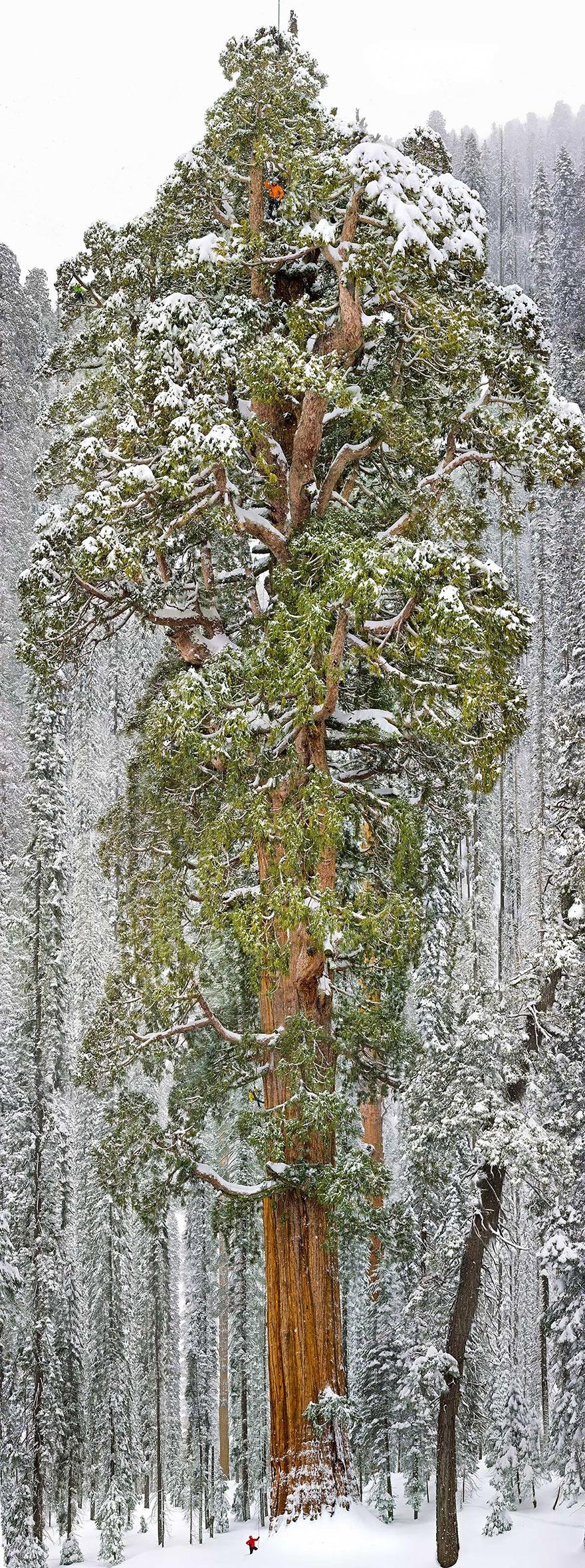 Third largest tree in the world (Giant sequoia), California. Третье по величине дерево в мире (Секвойя гигантская, или Секвойядендрон гигантский), Калифорния