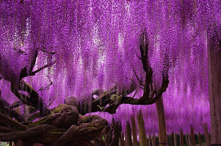 144-year-old wisteria, Japan. 144-летняя глициния, Япония