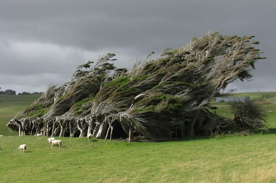 Trees twisted by strong winds, New Zealand. Деревья, согнутые сильными ветрами, Новая Зеландия