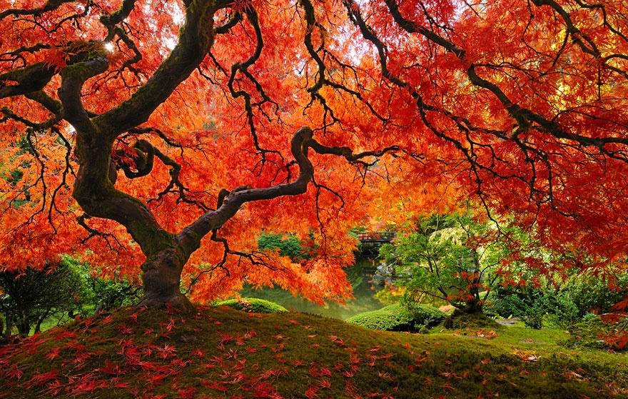Japanese maple tree, Oregon, USA. Клен дланевидный, Орегон, США