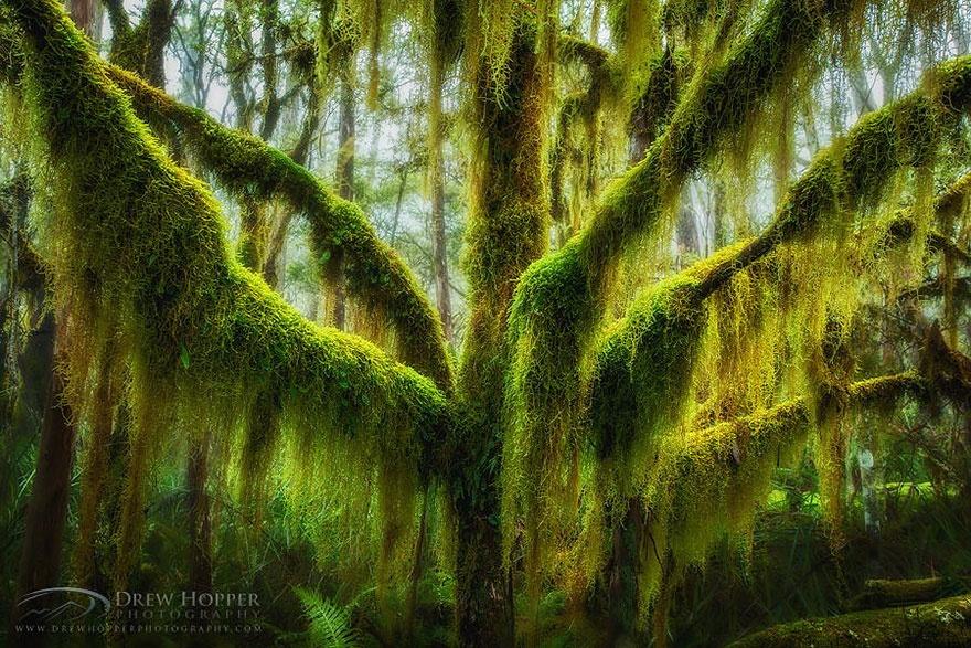 Moss-covered southern beech tree, Oregon, USA. Нотофагус, или Южный бук, покрытый мхом, Орегон, США