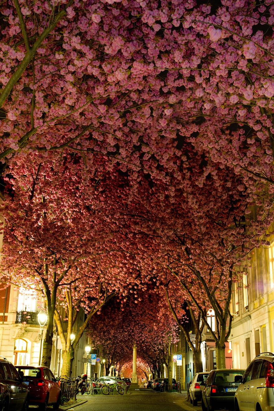 Cherry trees in bloom, Germany. Цветущие деревья вишни, Германия