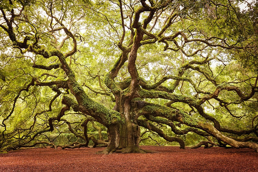 Angel Oak Tree, South Carolina. ''Дуб Ангела'' (дерево вида Quercus virginiana), Южная Каролина