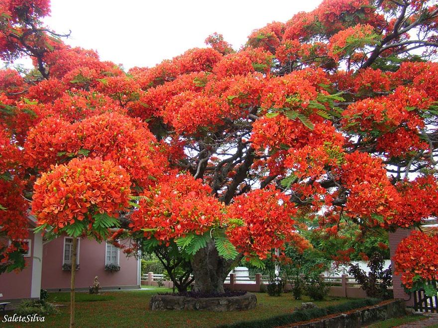 Delonix regia, Brazil. Делоникс королевский, или Огненное дерево, Бразилия