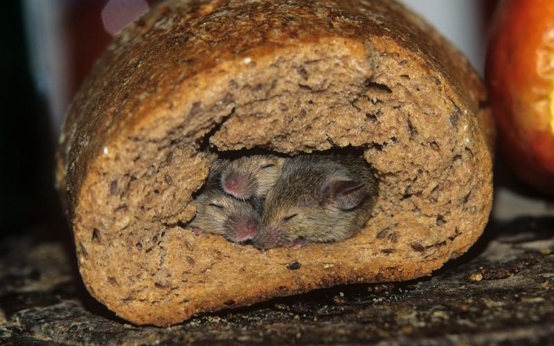 Мышь и хлеб