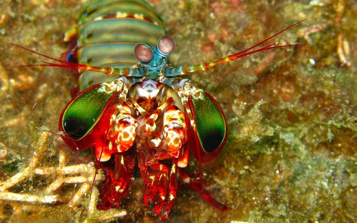 Рак-богомол - одно из многих животных, которые используют хитин