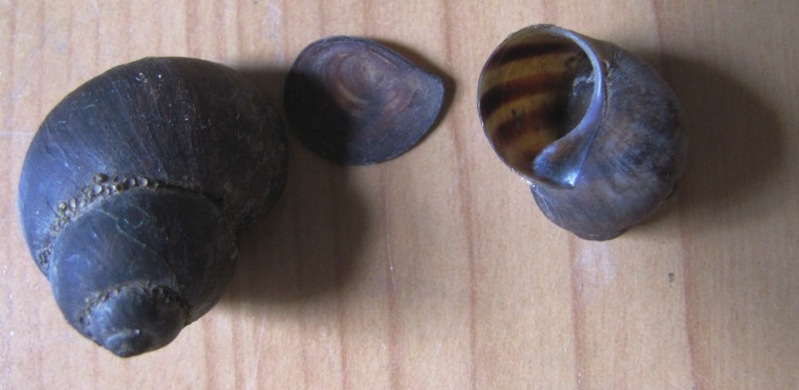 Растворение раковин моллюсков в соляной кислоте. Mollusk shells and hydrochloric acid
