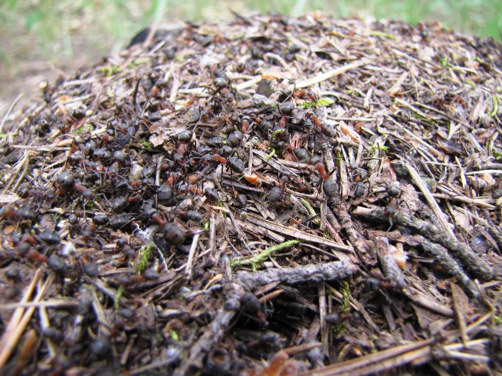 Муравьиная кислота и муравьи